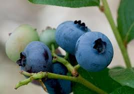 The Blueberry Season arrived 2 weeks early.