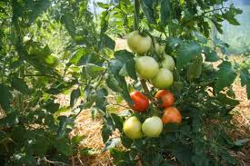 cluster tomatoes are a popular hoop house variety