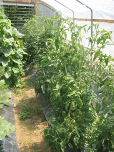 The hoop house was perfect for growing tomatoes, cukes and peppers.