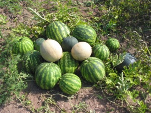 Watermelons and Cantaloupe anyone?