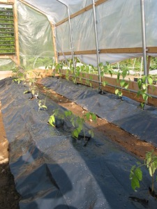 Tomatoes and Peppers are planted in the Hoophouse on May 20th.